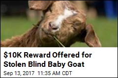 Stolen Blind Baby Goat Captures Hearts in Canada