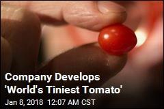 Company Unveils World's Tinest Tomato