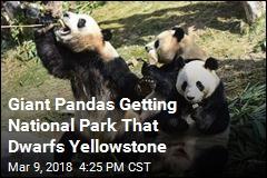 Giant Pandas Getting National Park That Dwarfs Yellowstone