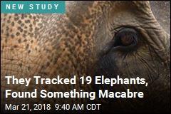 Poachers Still Killing Elephants, but Not for Ivory