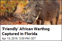 'Friendly' African Warthog Captured in Florida