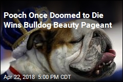 Pooch Once Doomed To Die Wins Bulldog Beauty Pageant