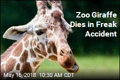 Zoo Atlanta's Giraffe Dies in 'Unusual Incident'