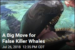 A Big Move for False Killer Whales