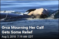Orca Mourning Her Calf Gets Some Relief