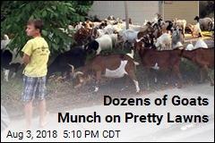 Dozens of Goats Munch on Pretty Lawns