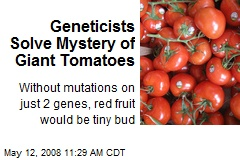 Geneticists Solve Mystery of Giant Tomatoes