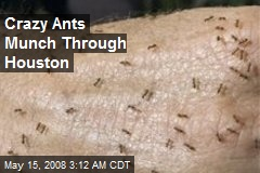 Crazy Ants Munch Through Houston