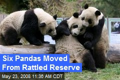 Six Pandas Moved From Rattled Reserve