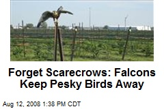 Forget Scarecrows: Falcons Keep Pesky Birds Away