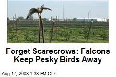 Forget Scarecrows: Falcons Keep Pesky Birds Away