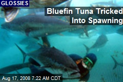 Bluefin Tuna Tricked Into Spawning