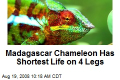 Madagascar Chameleon Has Shortest Life on 4 Legs
