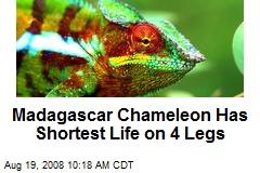 Madagascar Chameleon Has Shortest Life on 4 Legs