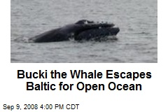 Bucki the Whale Escapes Baltic for Open Ocean