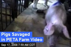 Pigs Savaged in PETA Farm Video