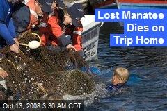 Lost Manatee Dies on Trip Home