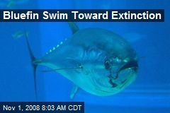 Bluefin Swim Toward Extinction