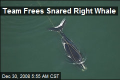 Team Frees Snared Right Whale