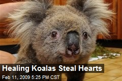 Healing Koalas Steal Hearts
