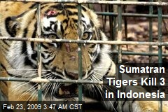 Sumatran Tigers Kill 3 in Indonesia