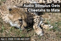 Audio Stimulus Gets Cheetahs to Mate
