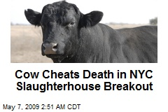 Cow Cheats Death in NYC Slaughterhouse Breakout