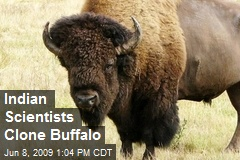 Indian Scientists Clone Buffalo