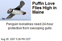 Puffin Love Flies High in Maine