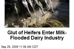 Glut of Heifers Enter Milk-Flooded Dairy Industry