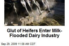 Glut of Heifers Enter Milk-Flooded Dairy Industry