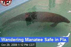 Wandering Manatee Safe in Fla.