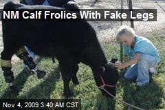 NM Calf Frolics With Fake Legs