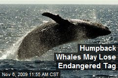 Humpback Whales May Lose Endangered Tag
