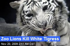 Zoo Lions Kill White Tigress