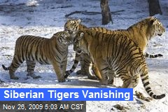 Siberian Tigers Vanishing