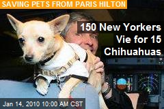 150 New Yorkers Vie for 15 Chihuahuas