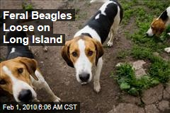 Feral Beagles Loose on Long Island