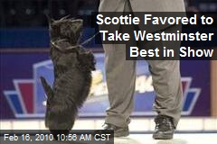 Scottie Favored to Take Westminster Best in Show