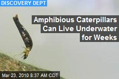 Amphibious Caterpillars Can Live Underwater for Weeks