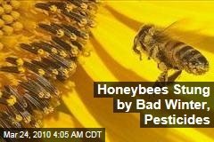 Honeybees Stung by Bad Winter, Pesticides