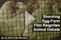 Shocking Egg-Farm Film Reignites Animal Debate