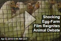 Shocking Egg-Farm Film Reignites Animal Debate