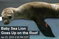 Baby Sea Lion Goes Up on the Roof
