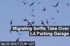 Migrating Swifts Take Over LA Parking Garage
