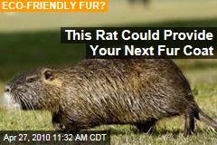 This Rat Could Provide Your Next Fur Coat
