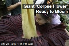 Giant 'Corpse Flower' Ready to Bloom