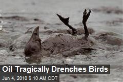 Oil Tragically Drenches Birds