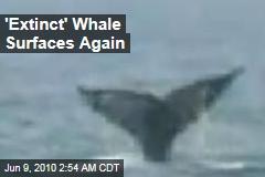 'Extinct' Whale Surfaces Again
