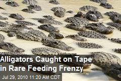 Alligators Caught On Tape in Feeding Frenzy -Video